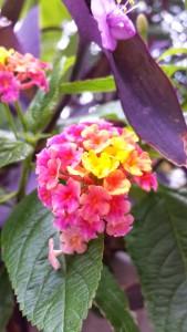 cltpride_flower