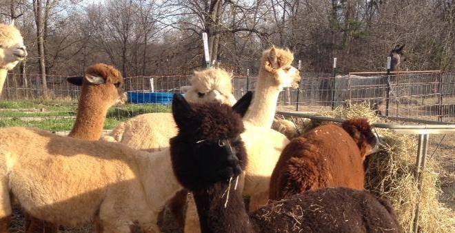 alpacas_goodkarma