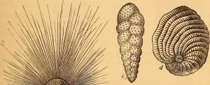 ForaminiferaShells